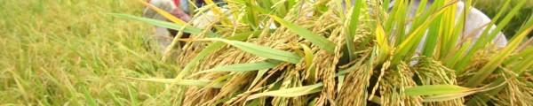 আমন ধান ক্ষেতে মাছ চাষ : কৃষকের  বাড়তি আয়ের সম্ভাবনা