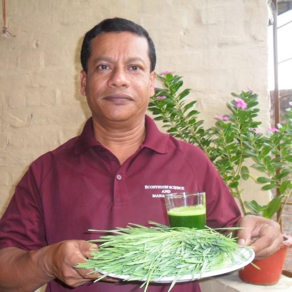 স্বাস্থ্য রক্ষায় কচি গমের চারার কারিশমা: সহস্র রোগের মহৌষধ