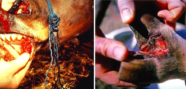 দেশে কম খরচে ক্ষুরারোগের টিকা উৎপাদন