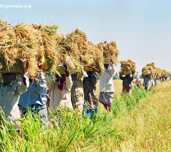 দাওয়ালদের ভূড়িভোজ:  কৃষক খায় 'হিদল'