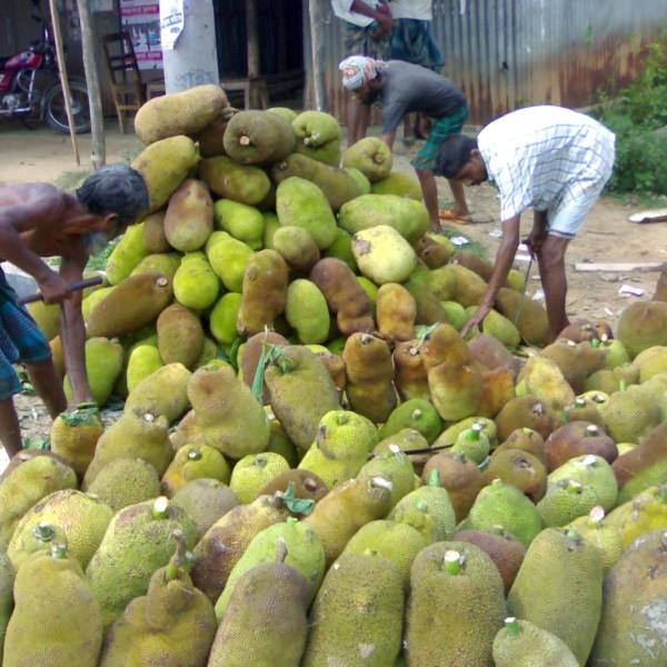 বিপণন ও প্রক্রিয়াজাতকরণের অভাব  উত্তর টাঙ্গাইলে কাঁঠাল এখন গোখাদ্য