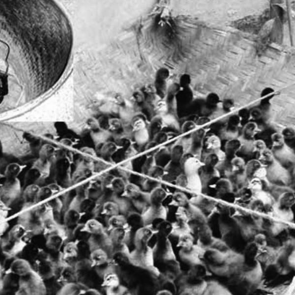 হাঁসের ডিম থেকে বাচ্চা ফোটানোর অভিনব 'তুষ-হারিকেন' পদ্ধতি