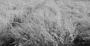 হৃদরোগের ঝুঁকি কমাবে চিয়া শস্য