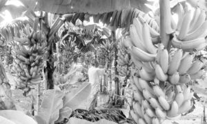 দিনাজপুর জেলায় কলার আবাদ বাড়ছে